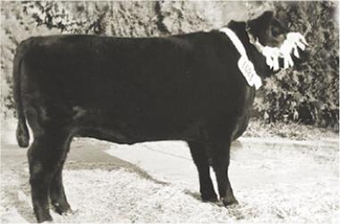 MAMINA | Gran Campeón Hembra 1975